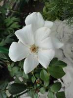 Розы цветут - Страница 3 17963432_s