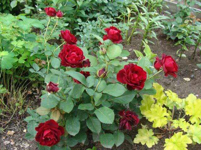 Розы цветут - Страница 3 18005394_m