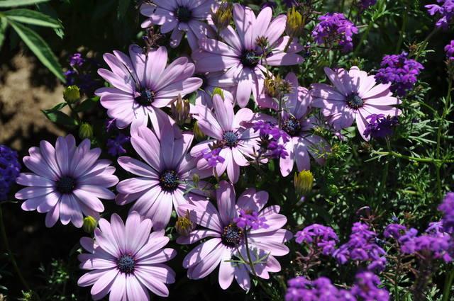 Однолетние цветущие цветы для дачи: фото и названия красивых 54