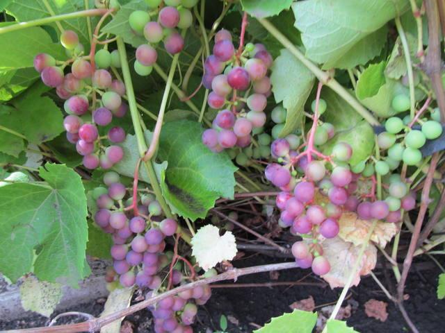 Виноград- секреты выращивания - Страница 32 18058602_m