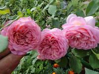 Розы цветут - Страница 4 18194130_s