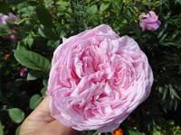 Розы цветут - Страница 4 18194168_s