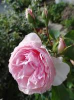 Розы цветут - Страница 4 18194207_s