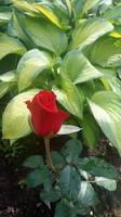 Розы цветут - Страница 5 18197929_s
