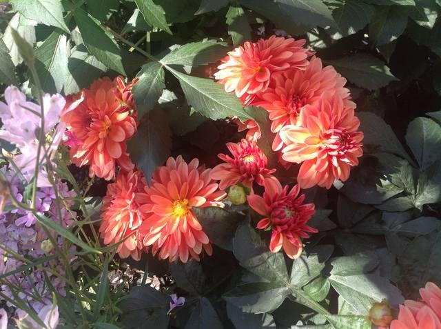 Георгины в цвету - Страница 36 18406973_m