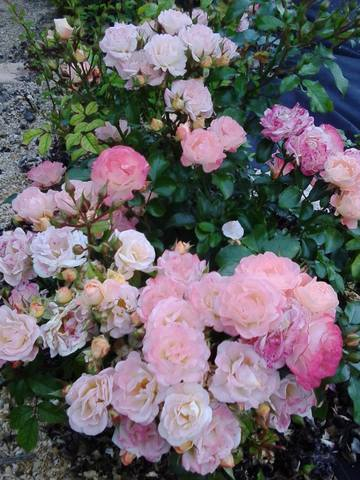 Розы цветут - Страница 5 18453486_m