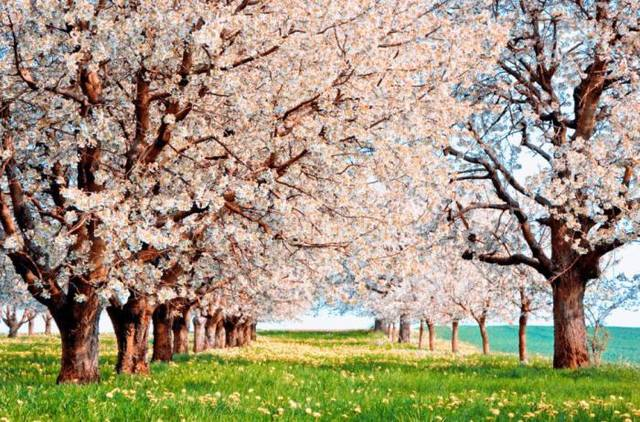 18 малоизвестных фактов о цветении вишни
