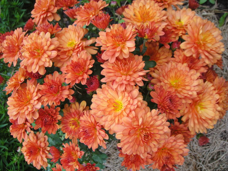 Хризантемы - Страница 19 18641256_m