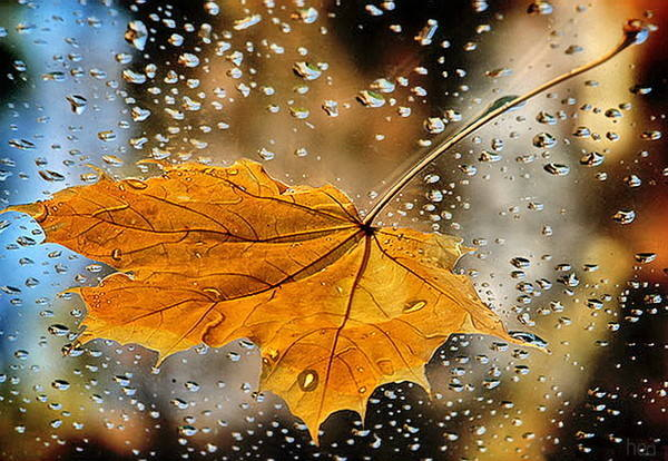 Отвар кленовых листьев чем полезен Польза и вред от настойки
