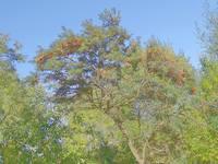 Дерево облепихи в Тропарёвском лесопарке. Фото Морошкина В.В.