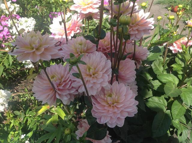 Георгины в цвету - Страница 36 19056662_m