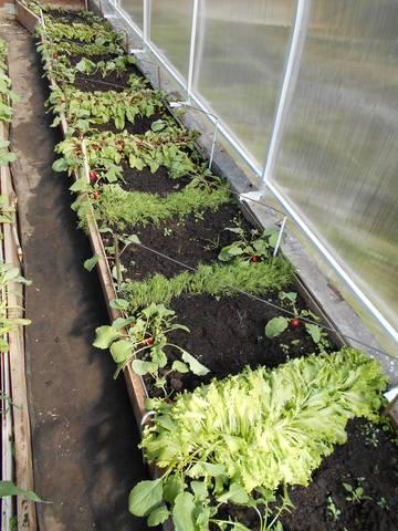 Когда можно сеять салат в теплице когда сеять в теплице Сад и огород
