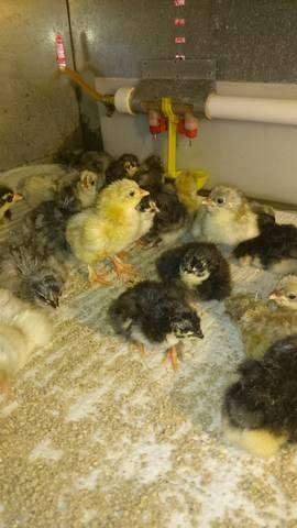Мараны - порода кур, несущие пасхальные яйца - Страница 14 20779155_m