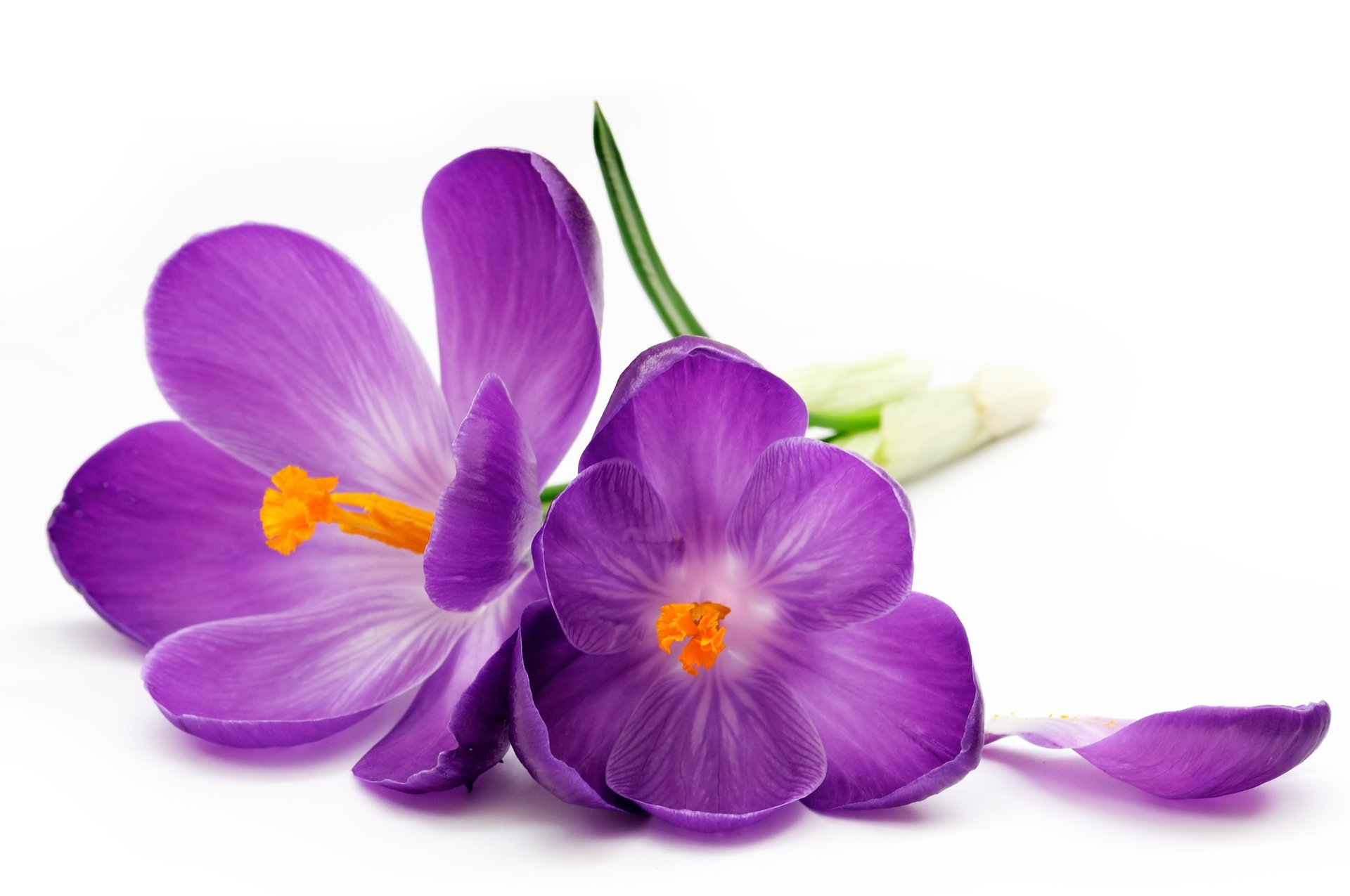 crocus-purple-petals-white-background