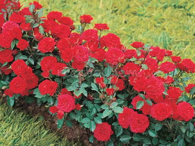 Уход за бордюрными розами в домашних условиях 960