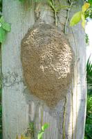 Небольшой термитник на древесном стволе. Фото Морошкина В.В.