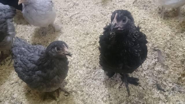 Мараны - порода кур, несущие пасхальные яйца - Страница 17 21552516_m