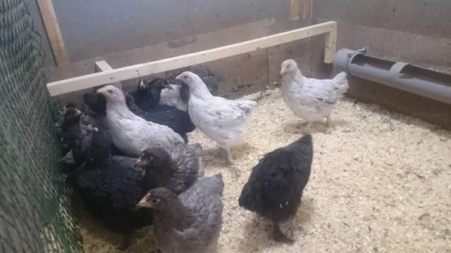 Мараны - порода кур, несущие пасхальные яйца - Страница 17 21552515_m