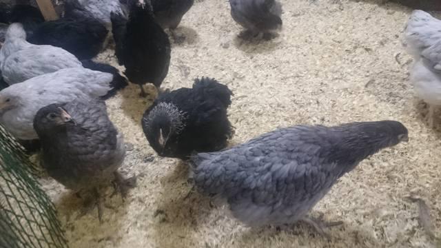 Мараны - порода кур, несущие пасхальные яйца - Страница 17 21552517_m
