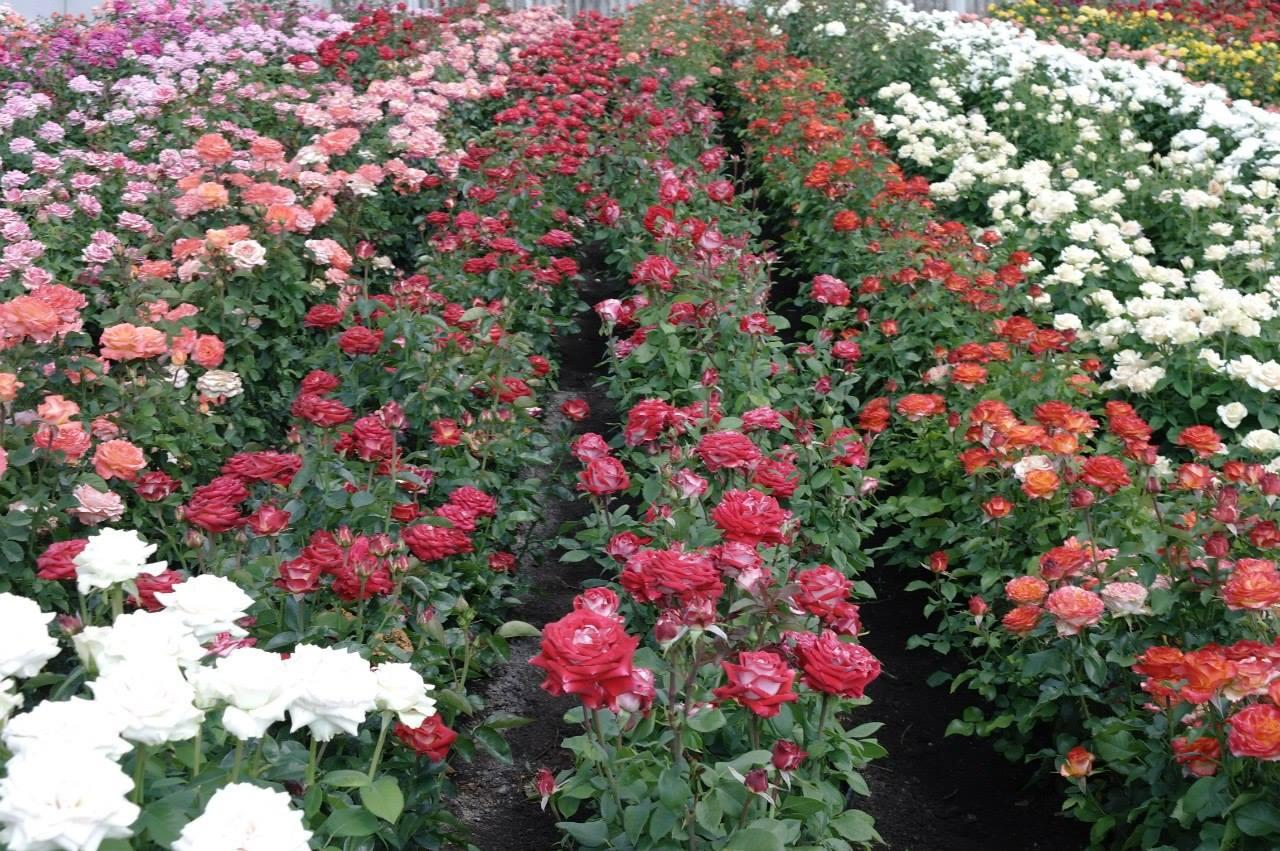 Величезний асортимент саджанців троянд найрізноманітніших видів