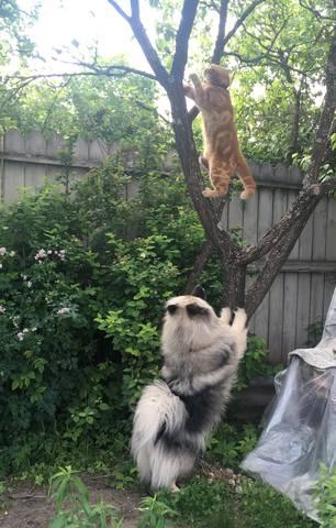 Мои Кеесхонды  Каспер, Френсис, Бор и кот Ярик. - Страница 9 22032496_m