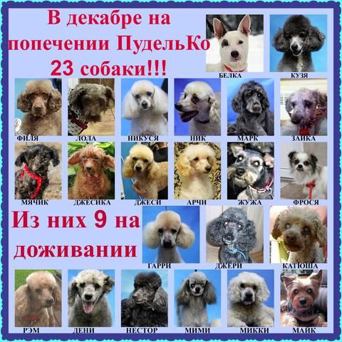 Собаки находящиеся на попечении Пудель команды 2017 год. 22086071_m