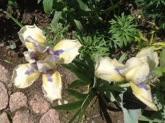 Ирисы в наших садах - Страница 38 22193950_m