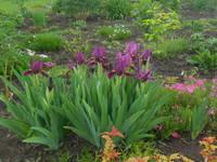 Ирисы в наших садах - Страница 38 22226100_s