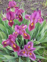 Ирисы в наших садах - Страница 38 22226101_s