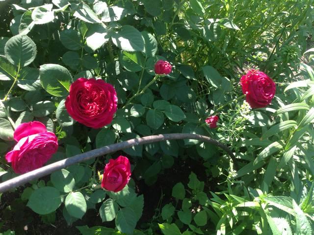 Розы цветут - Страница 13 22251362_m