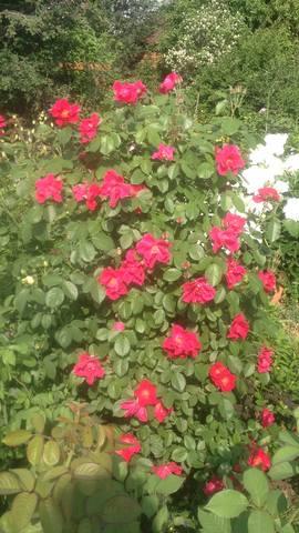 Розы цветут - Страница 13 22284727_m
