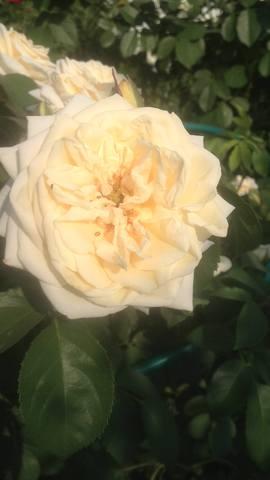 Розы цветут - Страница 13 22284792_m