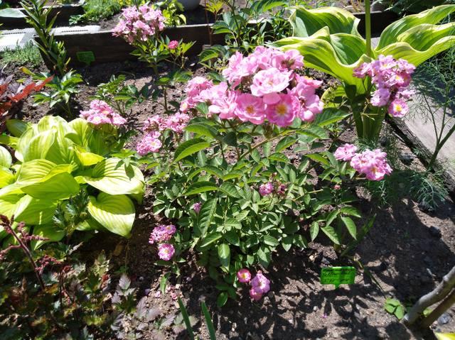 Розы цветут - Страница 14 22291166_m