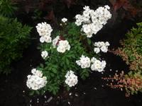 Розы цветут - Страница 14 22360788_s