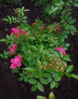 Розы цветут - Страница 14 22360793_s