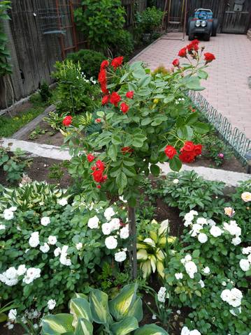 Розы цветут - Страница 14 22361354_m