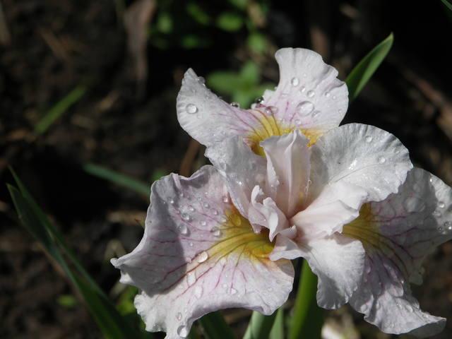 Ирисы в наших садах - Страница 39 22363327_m