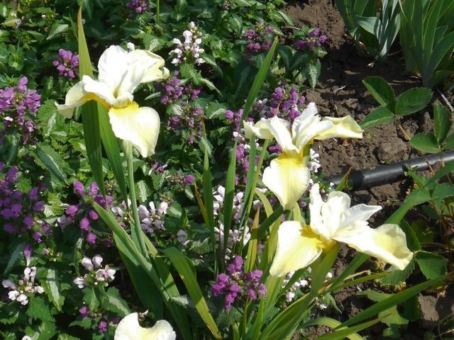Ирисы в наших садах - Страница 39 22374511_m