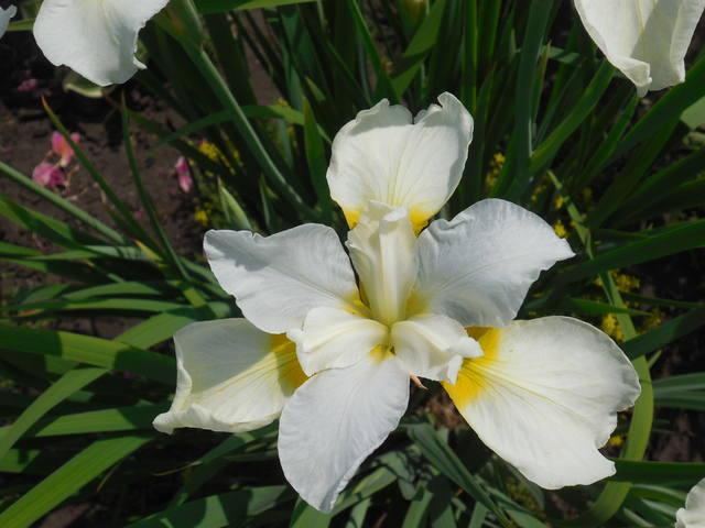 Ирисы в наших садах - Страница 39 22374512_m