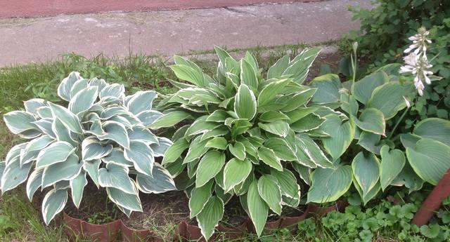 Продам растения - Страница 5 22451068_m