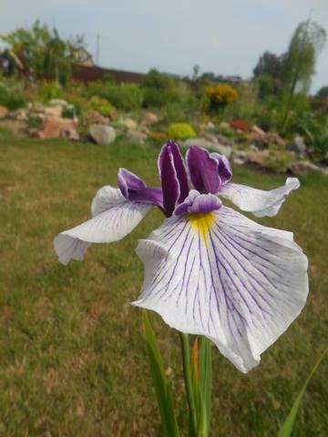 Ирисы в наших садах - Страница 40 22497840_m