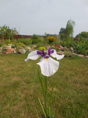 Ирисы в наших садах - Страница 40 22497839_m