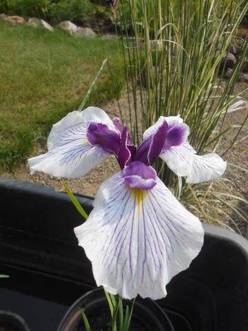 Ирисы в наших садах - Страница 40 22497841_m