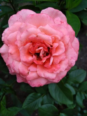 Розы цветут - Страница 17 22544972_m
