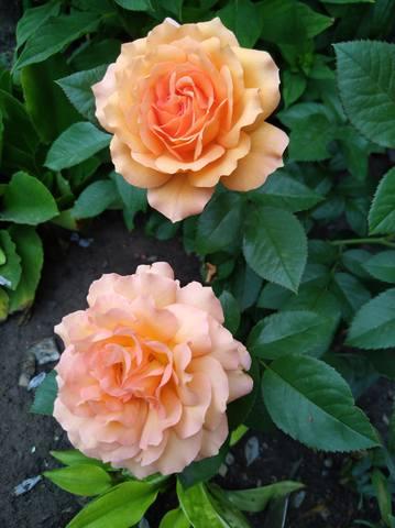 Розы цветут - Страница 17 22544973_m