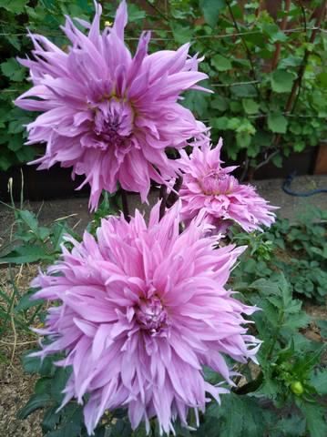 Георгины в цвету - Страница 36 22544975_m