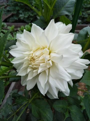 Георгины в цвету - Страница 36 22544976_m