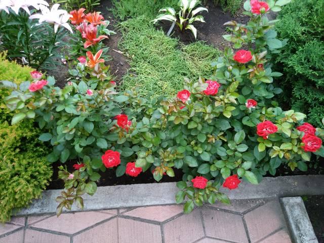 Розы цветут - Страница 17 22551306_m