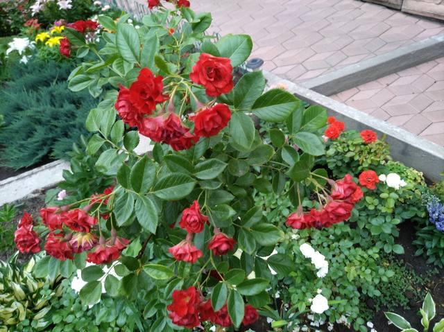 Розы цветут - Страница 17 22551307_m