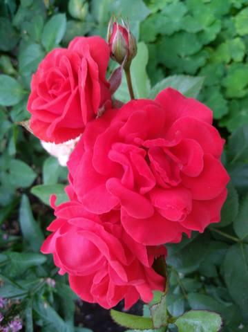 Розы цветут - Страница 17 22551309_m